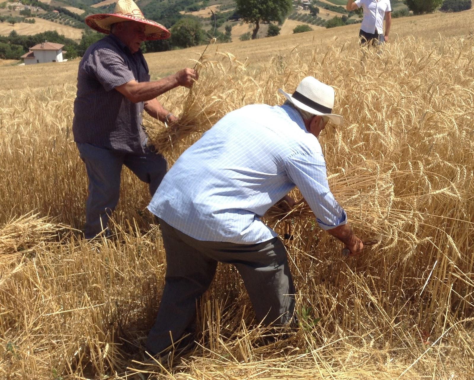Il gruppo Lo Conte salva la Risciola, un grano antico che rischiava di scomparire