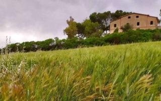 Campo di grani antichi a primavera