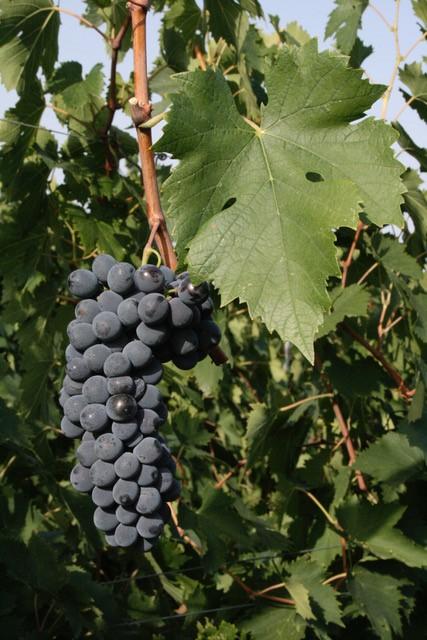 Al via il 2°ciclo di ONAV, #Vini&Terroir, dove il Sangiovese è il vero Re dei vini italiani